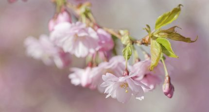Closeup of a branch of pink cherry bloom